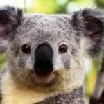 コアラ 画像